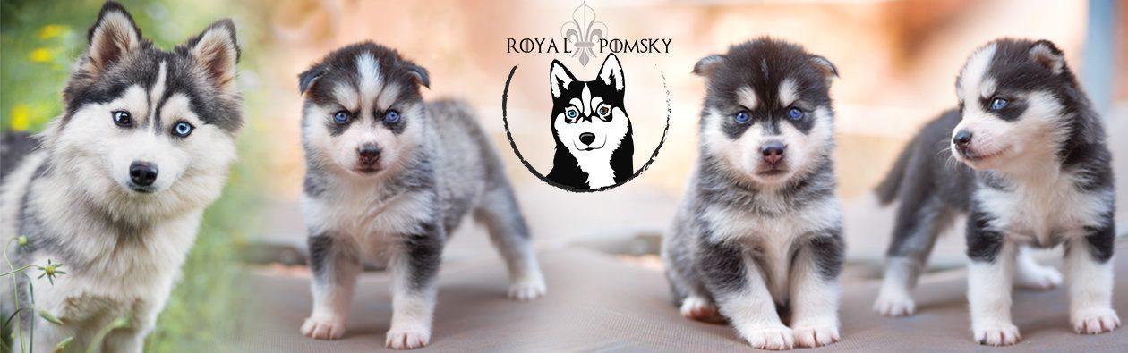 Elevage de Pomsky - Réservation de chiens Pomsky - Royal Pomsky