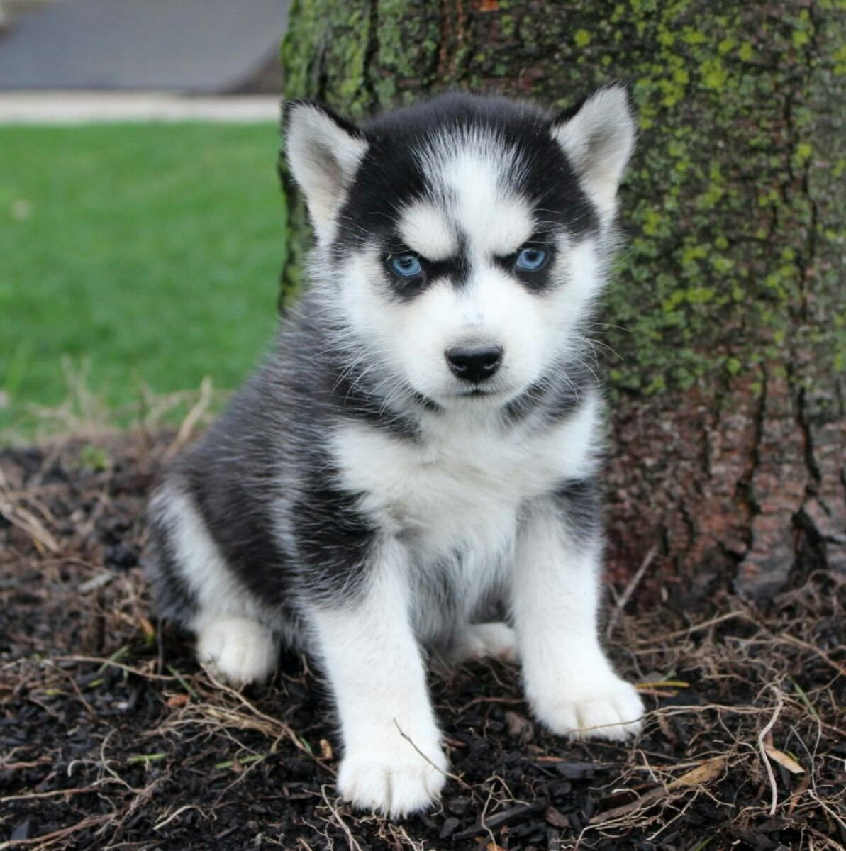 chiot bebe Siberian husky