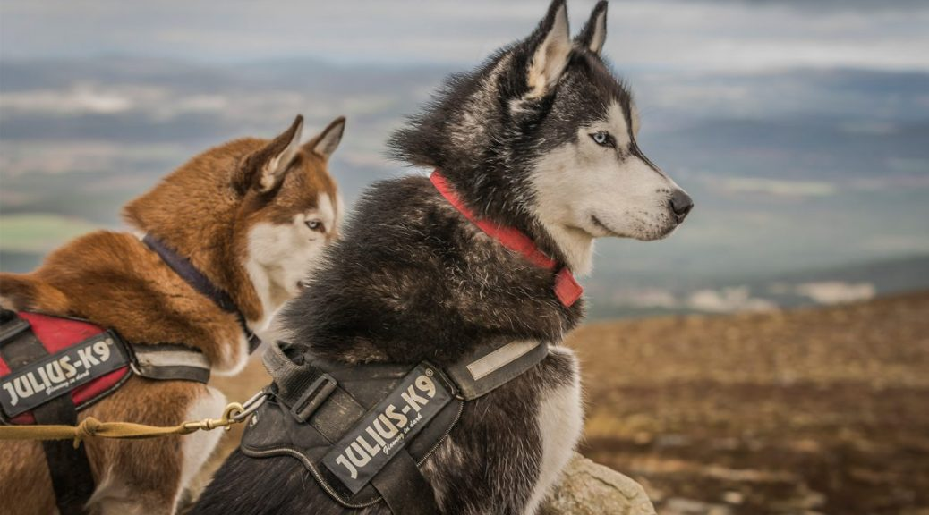 decouvrez le husky siberian